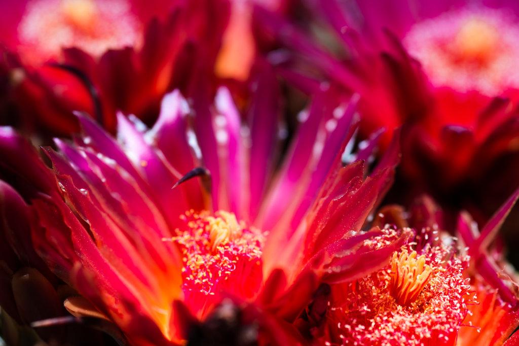 cactus-flowers-0813-001.jpg