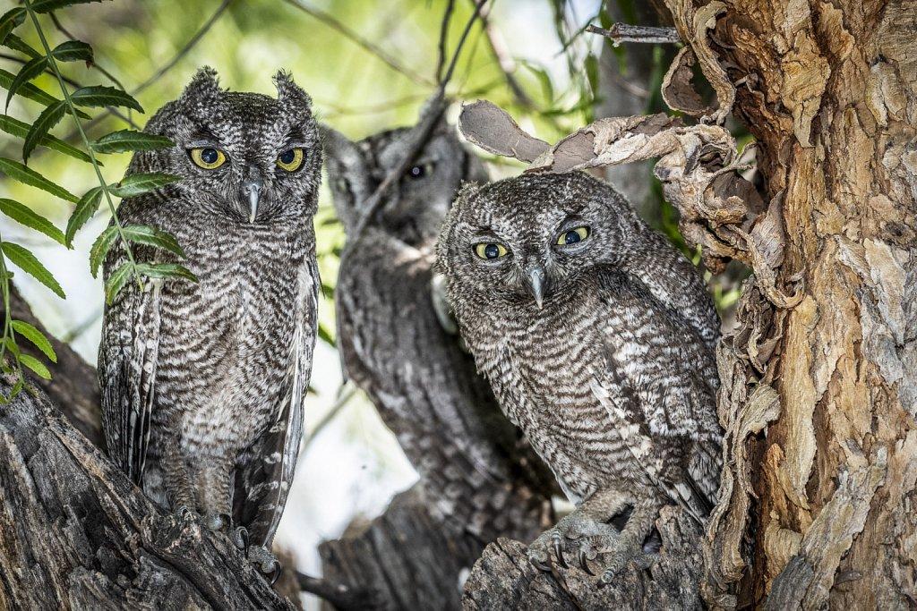 Western-Screech-Owls-0619-061.jpg