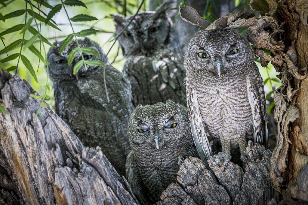 Western-Screech-Owls-0619-083.jpg
