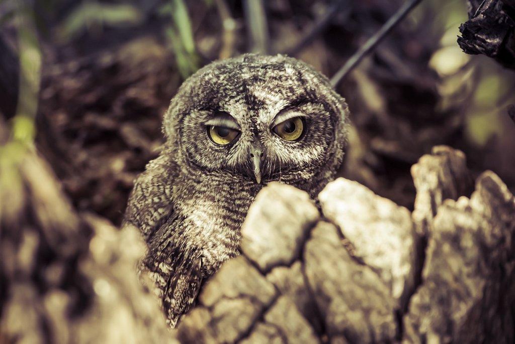 Western-Screech-Owls-0619-112.jpg