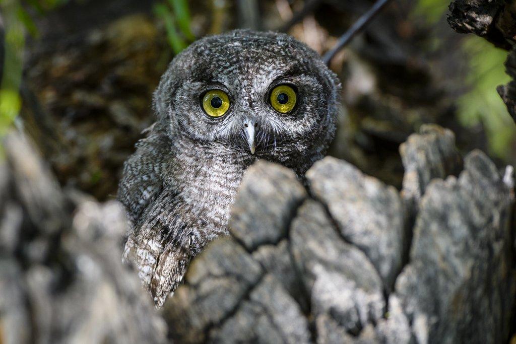 Western-Screech-Owls-0619-114.jpg