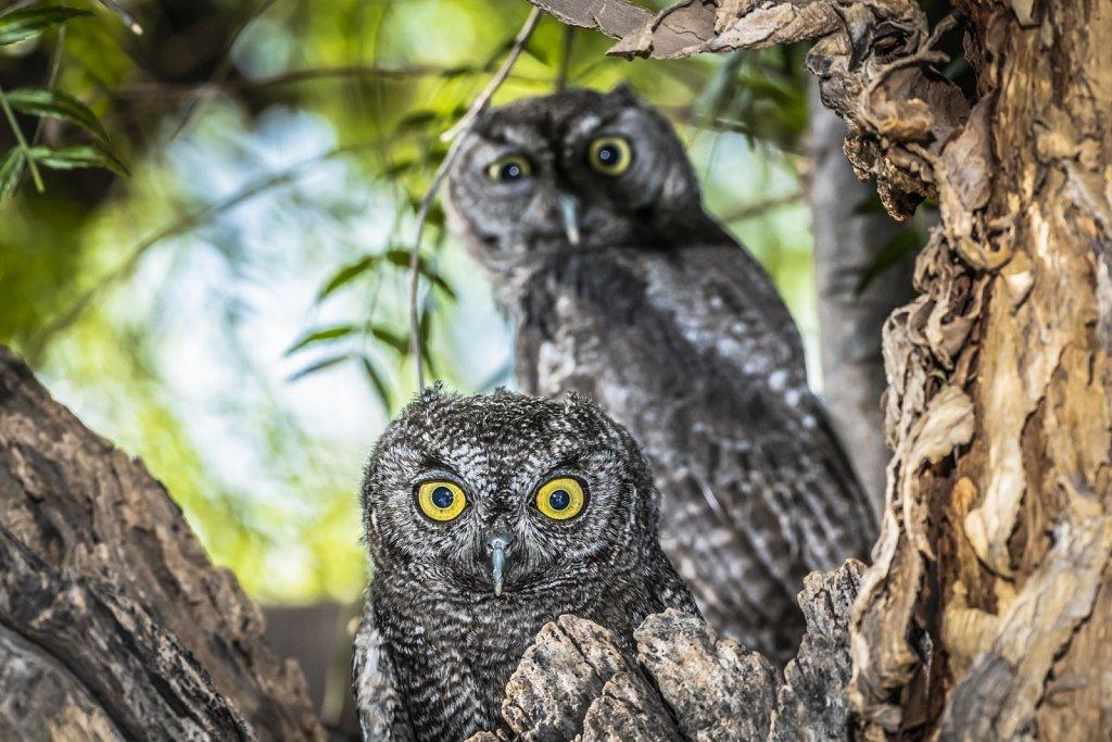 Western-Screech-Owls-0619-158.jpg