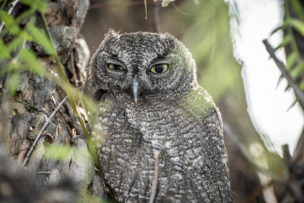 Western-Screech-Owls-0619-206.jpg