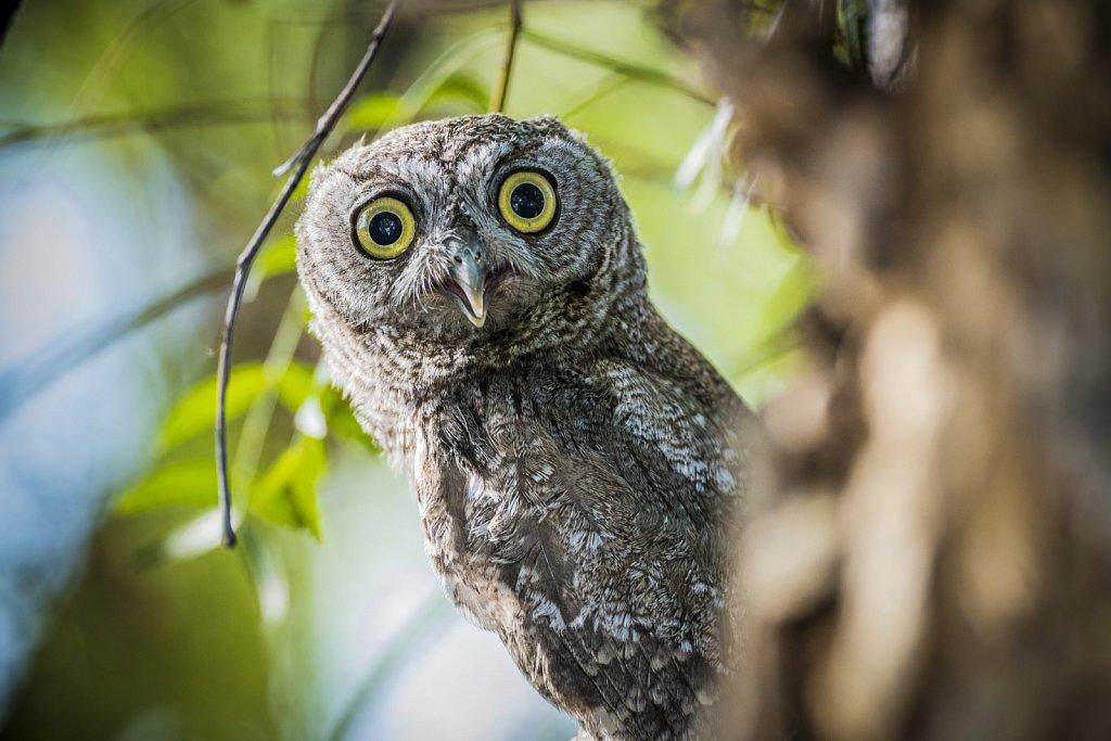 Western-Screech-Owls-0619-224.jpg