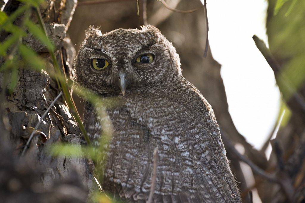 Western-Screech-Owls-0619-261.jpg