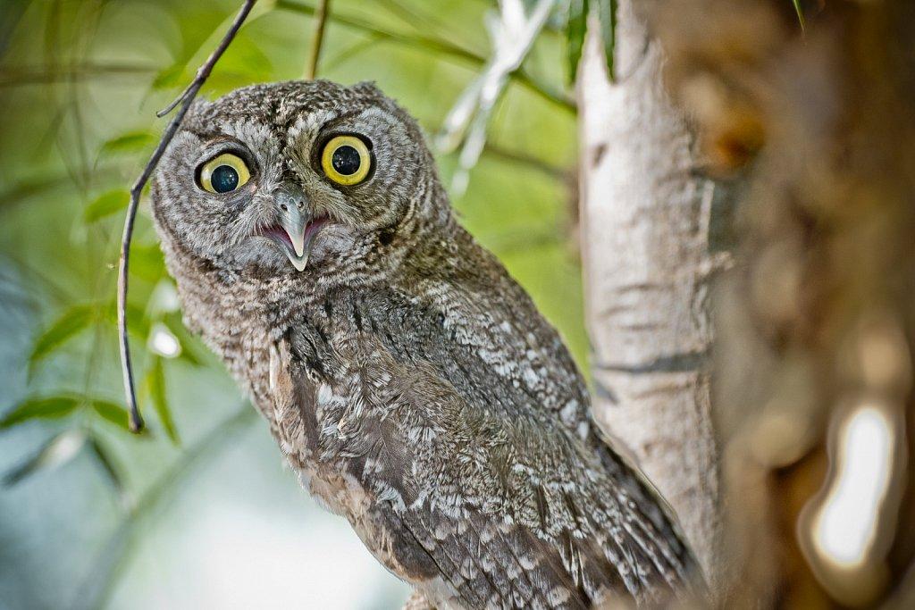 Young Western Screech Owl