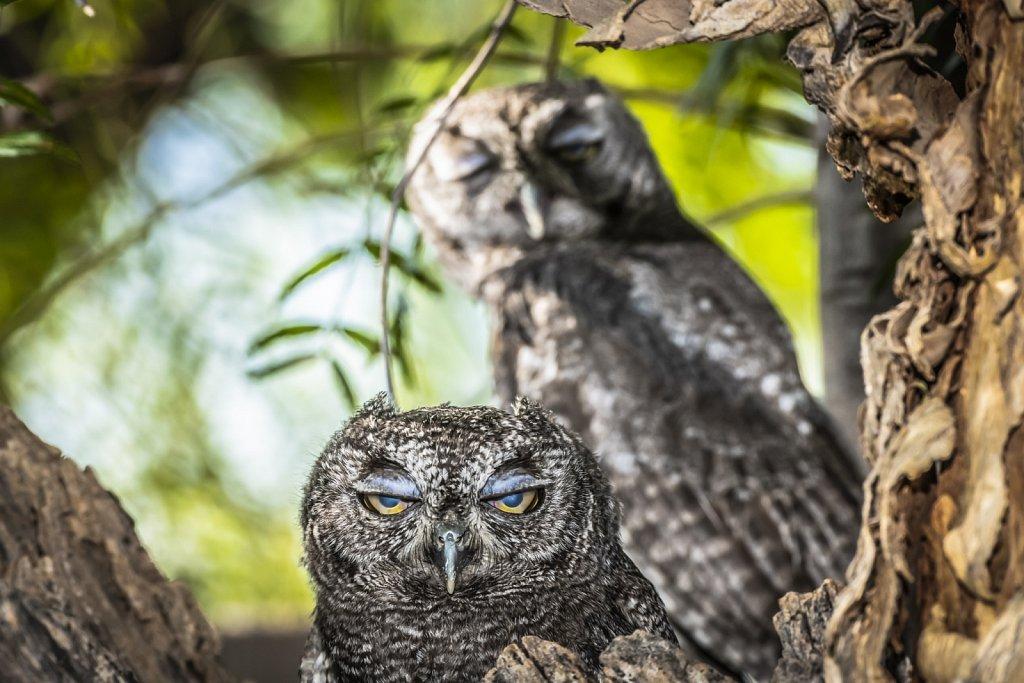 Blinking Owls