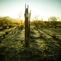 saguaro-ribs_900px